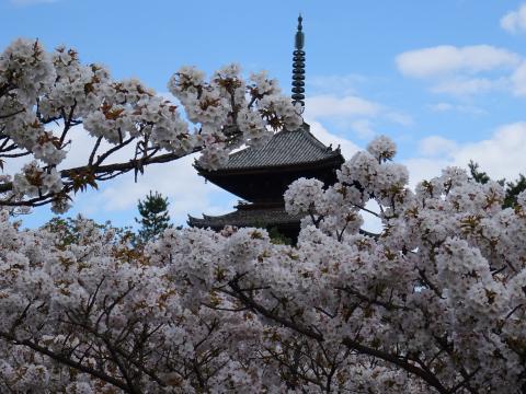 2017年4月18日 仁和寺 御室桜