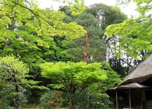 新緑と茶室