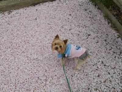 桜絨毯よた