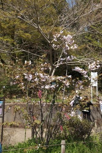 201704_さくら保存林_03