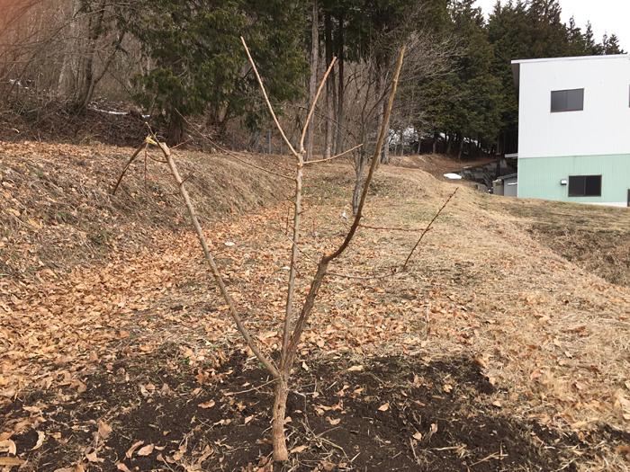 2017 春 梅の木 植樹