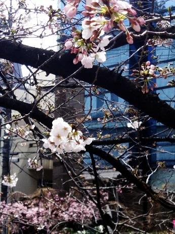 目黒川の桜 (4)
