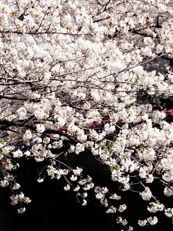 目黒の桜 (1)