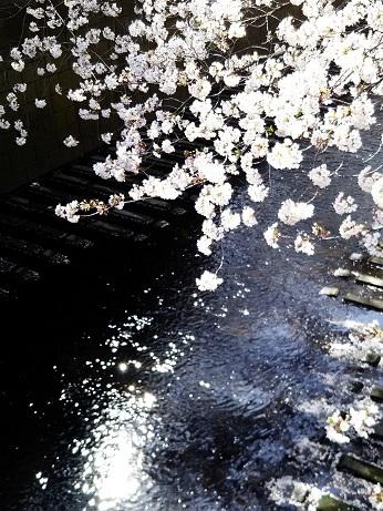 目黒の桜 (2)
