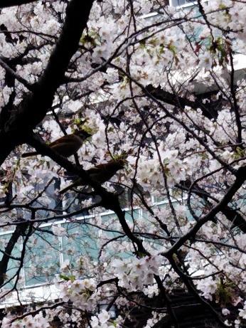 目黒の桜 (3)