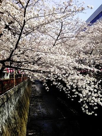 目黒の桜 (4)