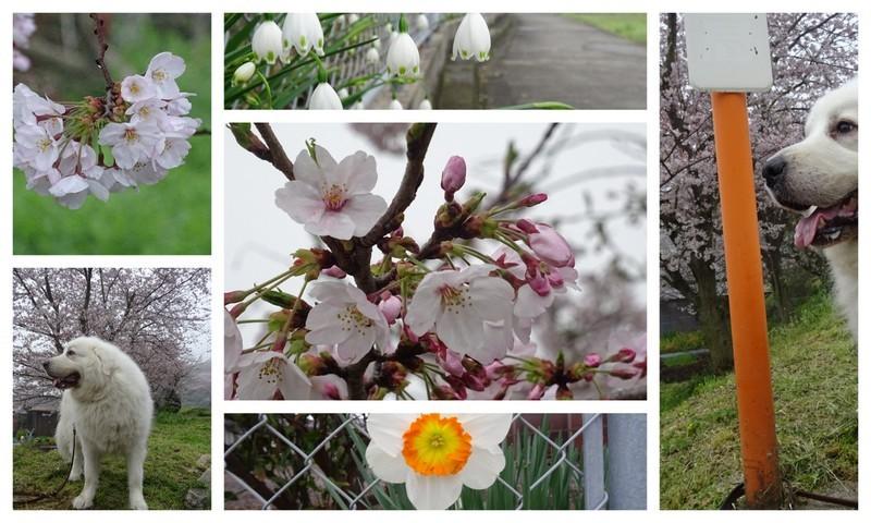 170408霧の桜1