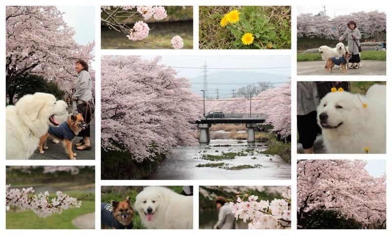 170409美祢の桜