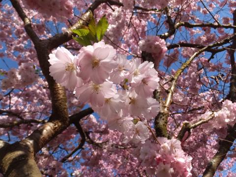 2017桜5