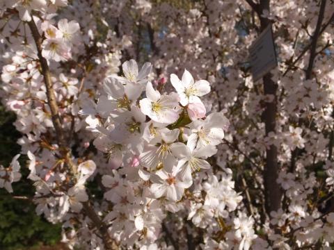 2017桜10