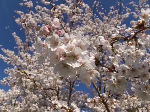 2017桜12