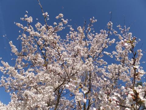 2017桜11