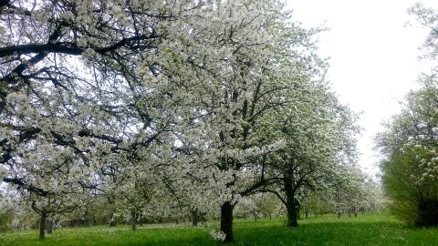 Weilheim桜2