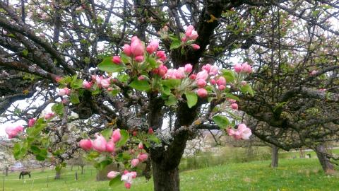 Weilheimりんご1