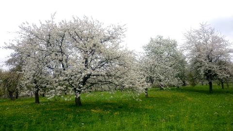 Weilheim桜1