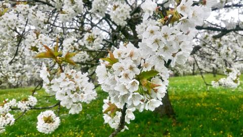 Weilheim桜3