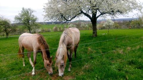 Weilheim桜4