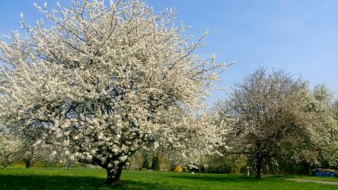 Ostfildern桜1