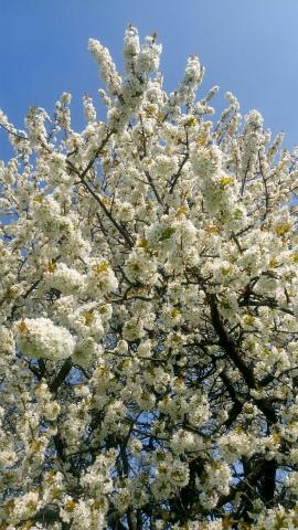 Ostfildern桜2