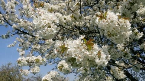 Ostfildern桜3