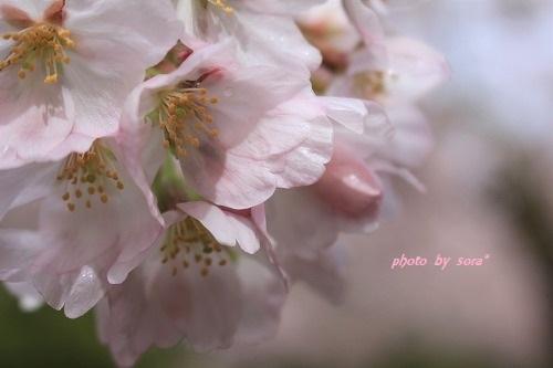 ブログNo.924(桜タオル巻き巻き♪)7