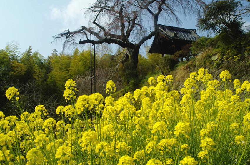 井手町(春)2