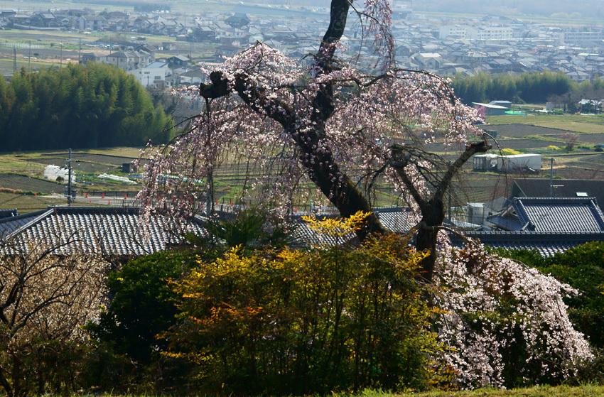 枝垂れ桜01