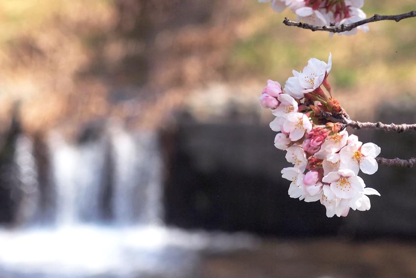 桜(玉川)02