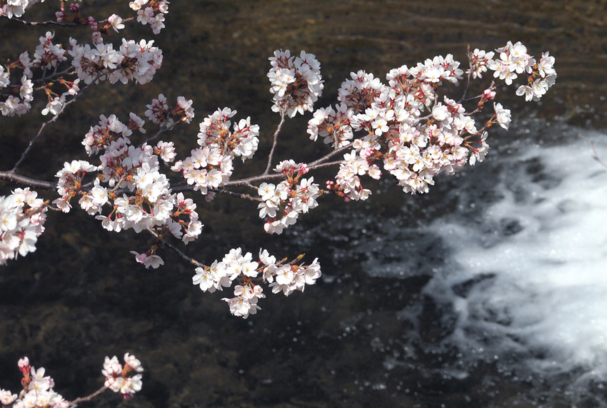 桜(玉川)04
