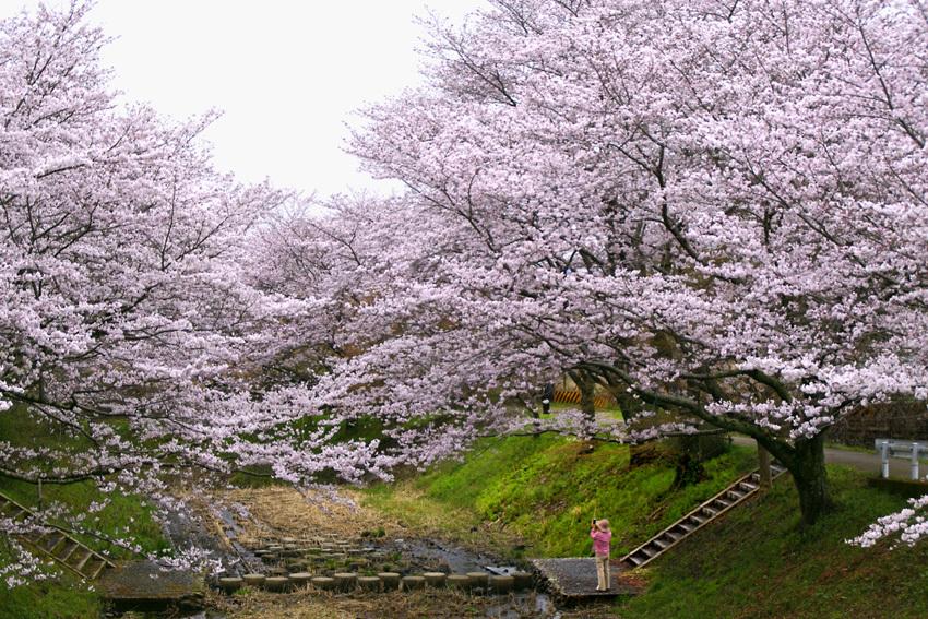 玉川の桜01