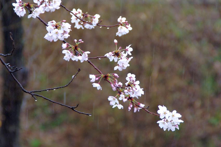 大住の桜401