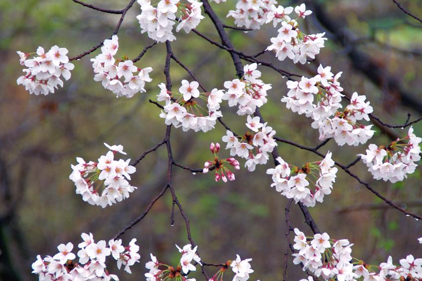 大住の桜403