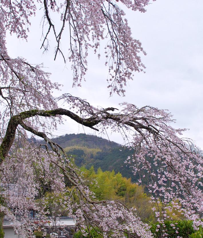 枝垂れ桜06