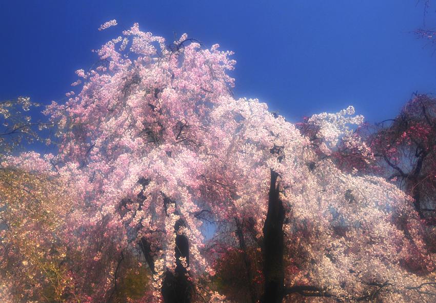 桜(植物園)01