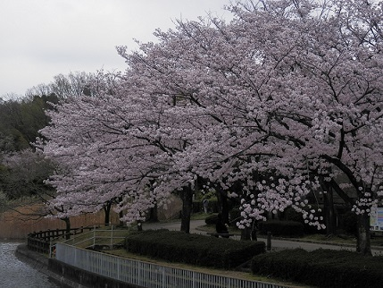 sakura(1)20170410.jpg
