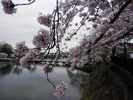 sakura(2)20170410.jpg