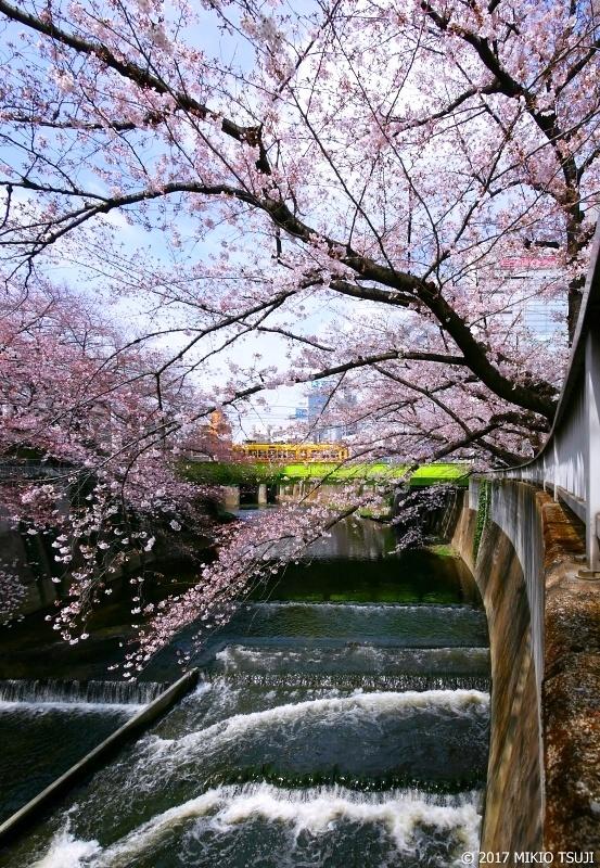 絶景探しの旅 - 0177  桜満開の神田川と都電荒川線 (東京都 豊島区)