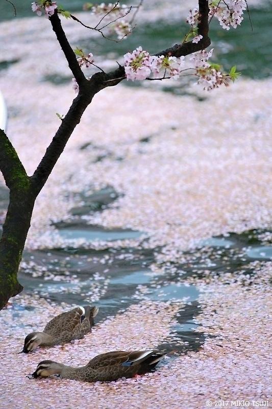 絶景探しの旅 - 0184 日本さくら名所100選 「井の頭恩賜公園」 桜の井の頭池 (東京都 武蔵野市)