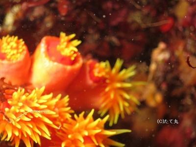 411 キサンゴの一種