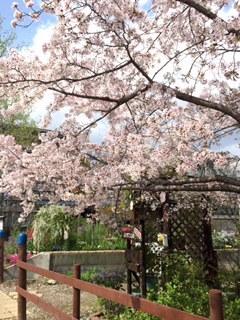 ぷらざこむ桜