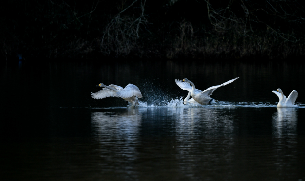 白鳥飛び出し(古徳沼)