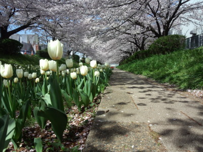 photo_derosa_sakuratyurippu_0413_5_2017_0413.jpg