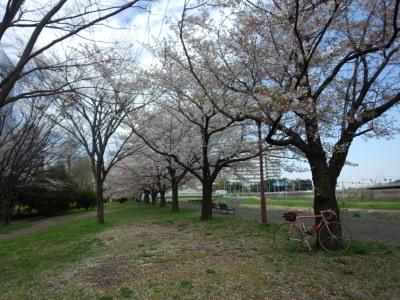 photo_derosa_turumigawa_sakura_0413_6_2017_0413.jpg