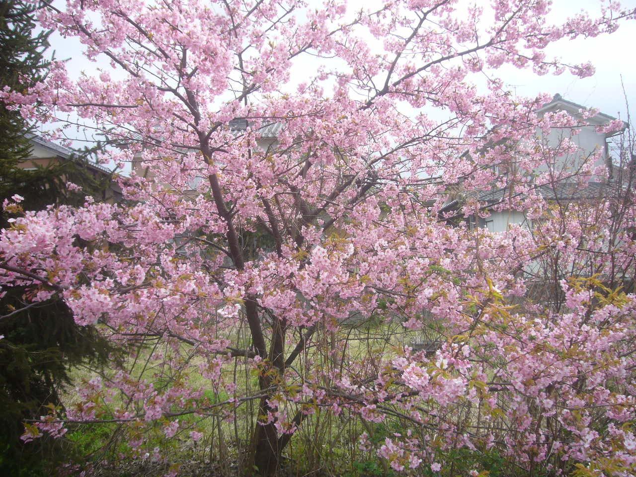 サクラ咲く H29.3.26