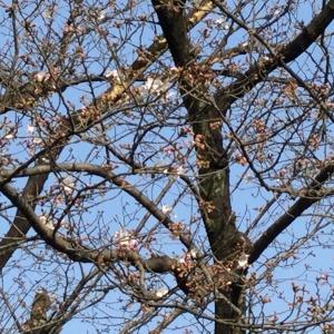 桜一分咲き
