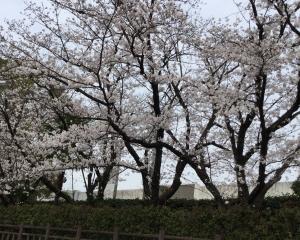 8分咲きソメイヨシノ