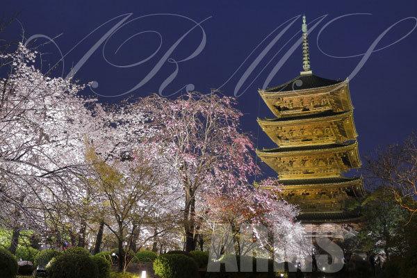 京都の桜 東寺のライトアップ 国宝の五重塔と桜