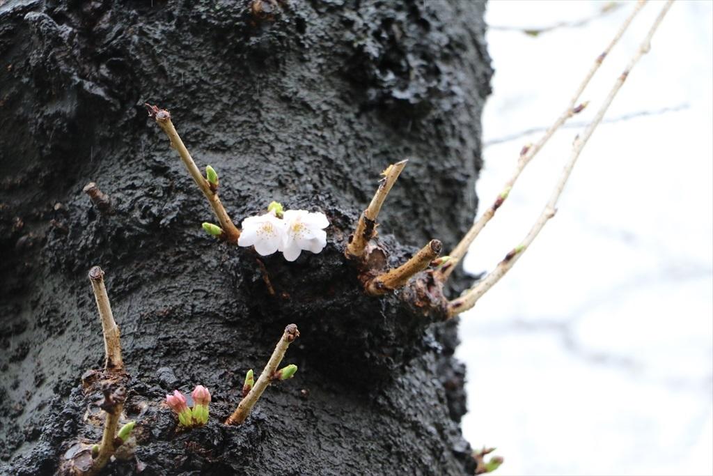 呑川のソメイヨシノが開花した_1