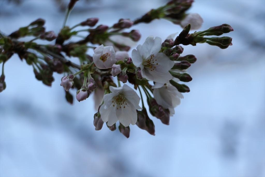昨22日の桜_3