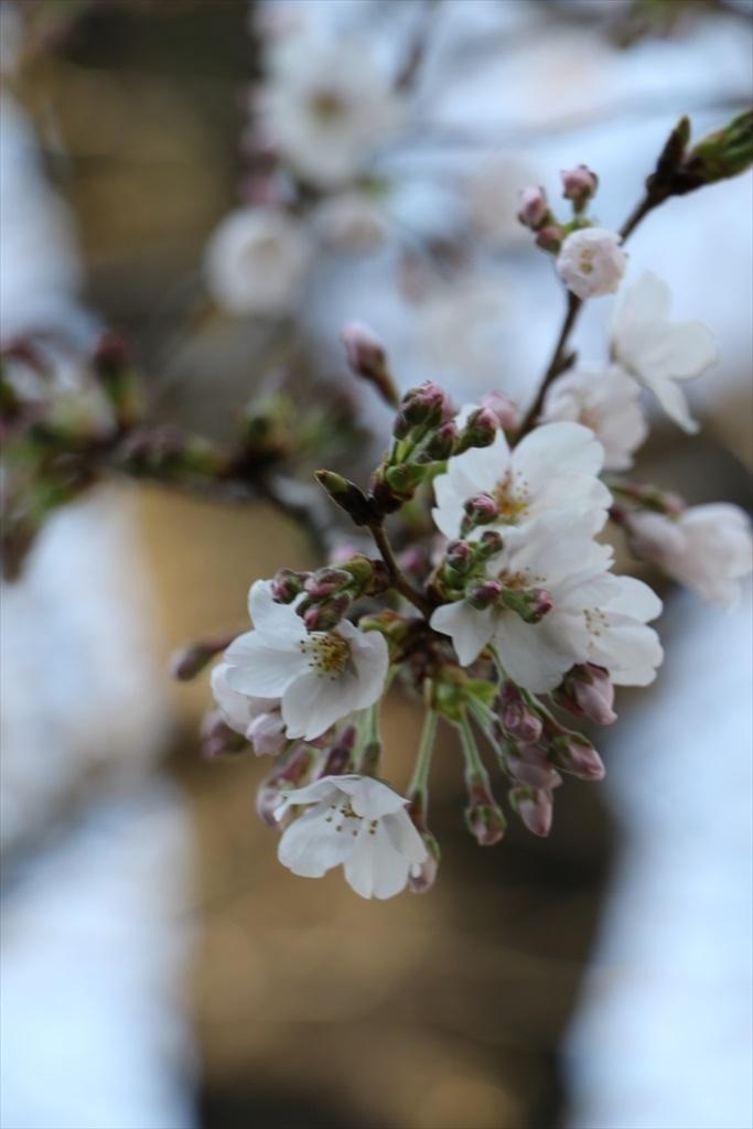 昨22日の桜_4